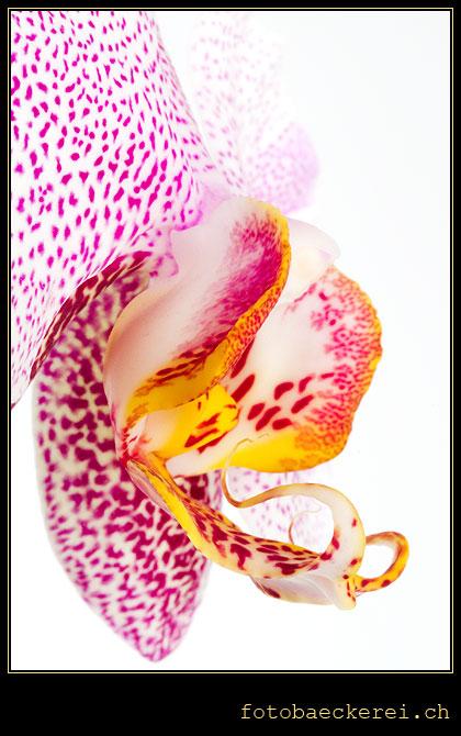 Tag 113 Projekt 365 Orchidee