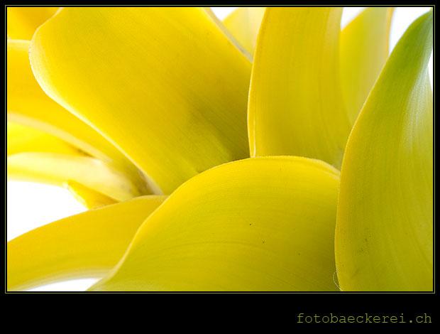 Tag 118 Projekt 365 Guzmania Pflanze