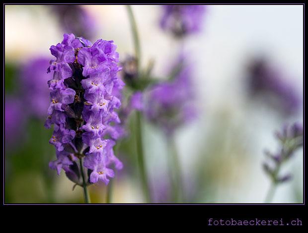 Tag 144 Projekt 365 Lavendel