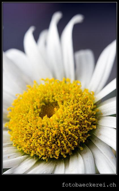 Tag 222 Projekt 365 Chrysantheme