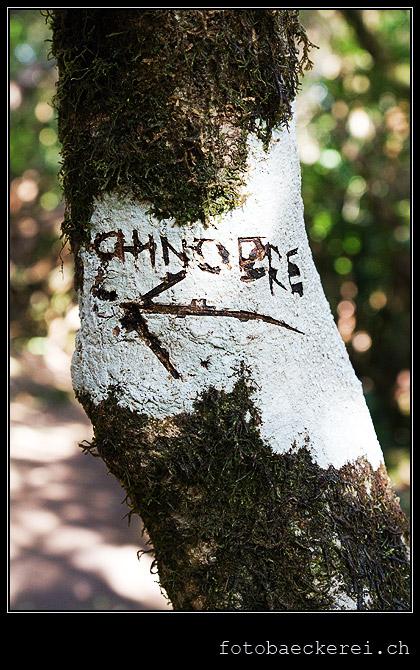 Chinobre, Baum, Wegweiser, Anaga Regenwald