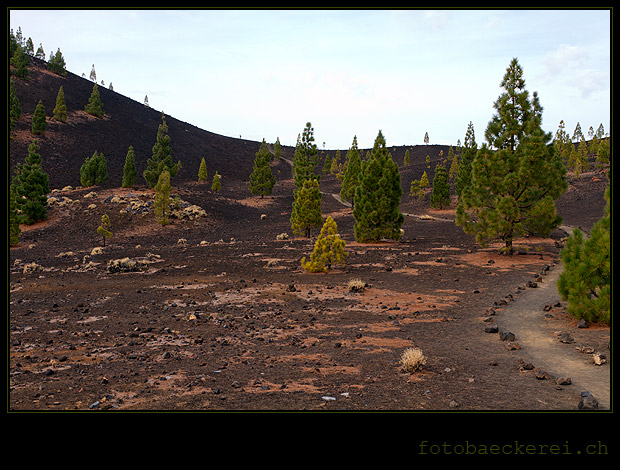 Projekt 365 Tag 317 Lava Kiefern, Canadas del Teide, Teneriffa, Spanien