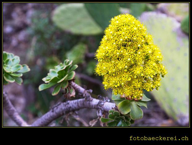 Pflanze, Mascaschlucht, Teneriffa, Spanien