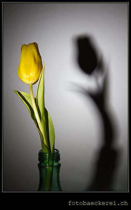 Tag 359 Projekt 365 Tulpe Schatten