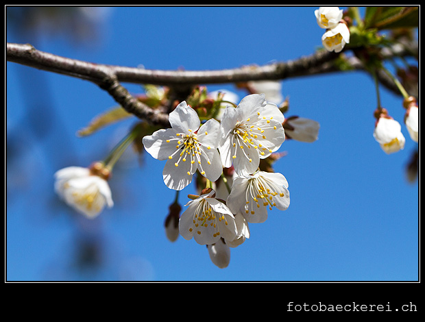 Woche 14, Kirschblueten